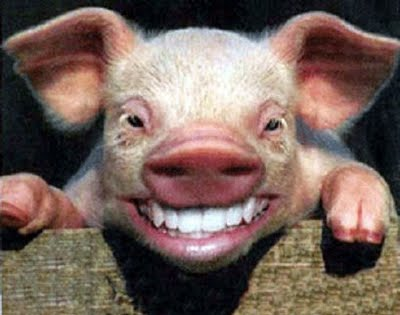 porco-rindo